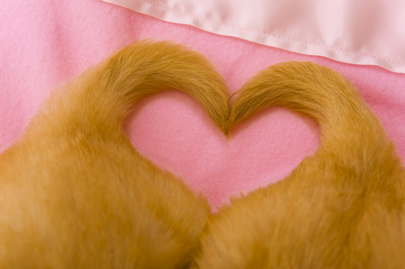 A pair of cute adorable 4 week old Golden Retriever puppies with their tails in the shape of a heart as they lay on a pink baby blanket