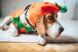 beagle-dog-in-a-pumpkin-costume-picture-id492394498